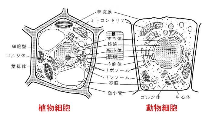 真 核 細胞 と 原核 細胞 の 違い