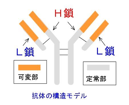 免疫グロブリン抗原抗体反応のメカニズムと抗体の構造と種類