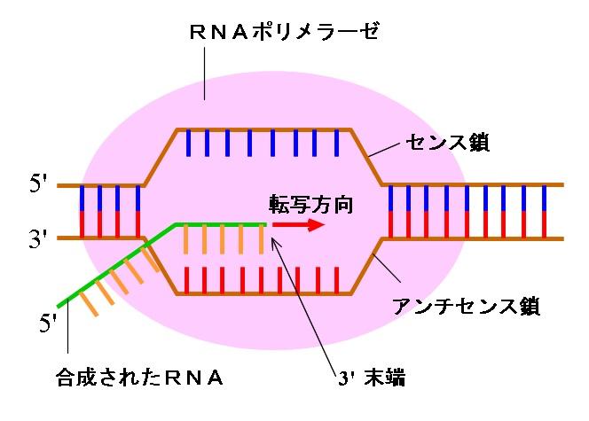 RNAの構造と塩基および転写(スプライシング)と翻訳(コドン)のしくみ